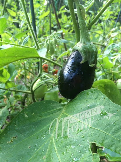 how to grow an eggplant