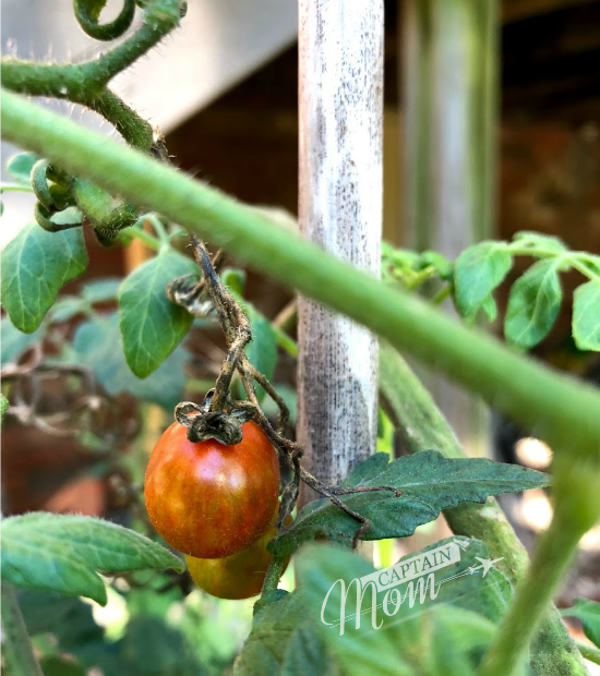 cherry tomato on a vine for tasty tomato soup